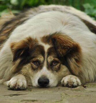mejores piensos para el sobrepeso en perros
